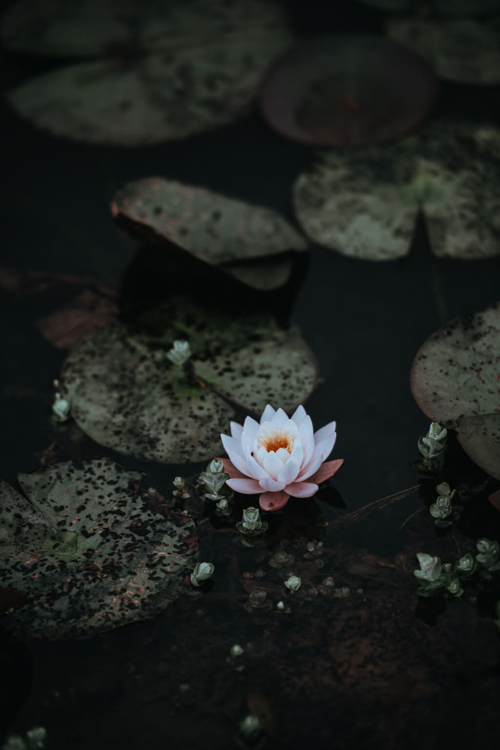 Seerose Gardening deluxe tantedine