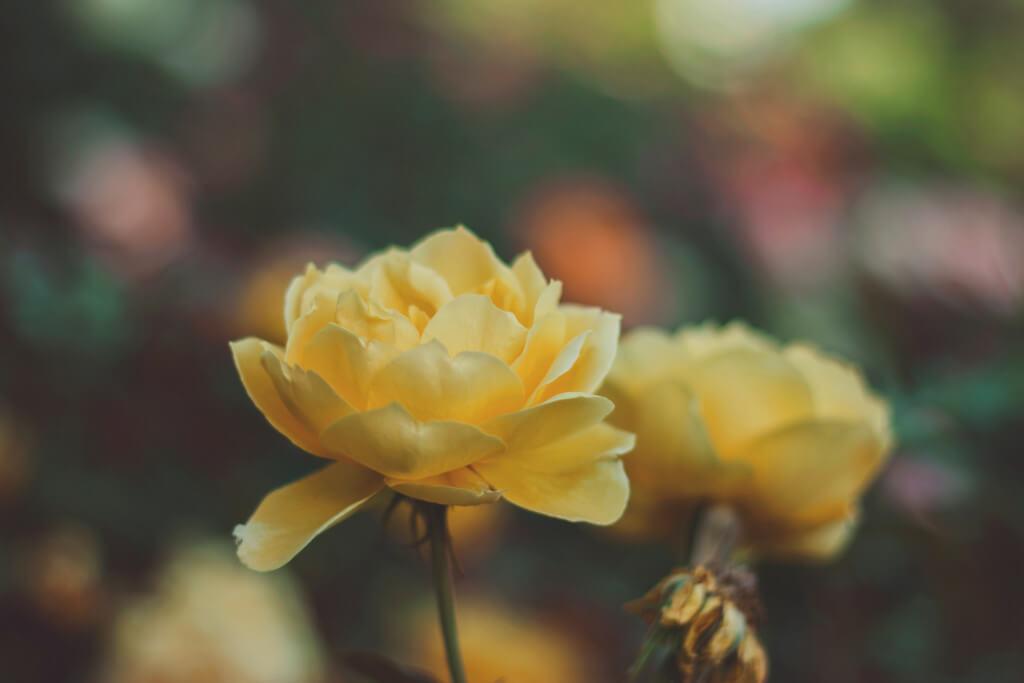 Rosen Garten Gechillt Sommer tantedine
