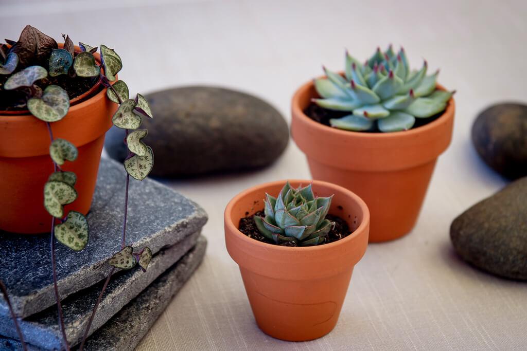 Sukkulenten vermehren mit Stecklingen DIY Gardening Succulenten tantedine