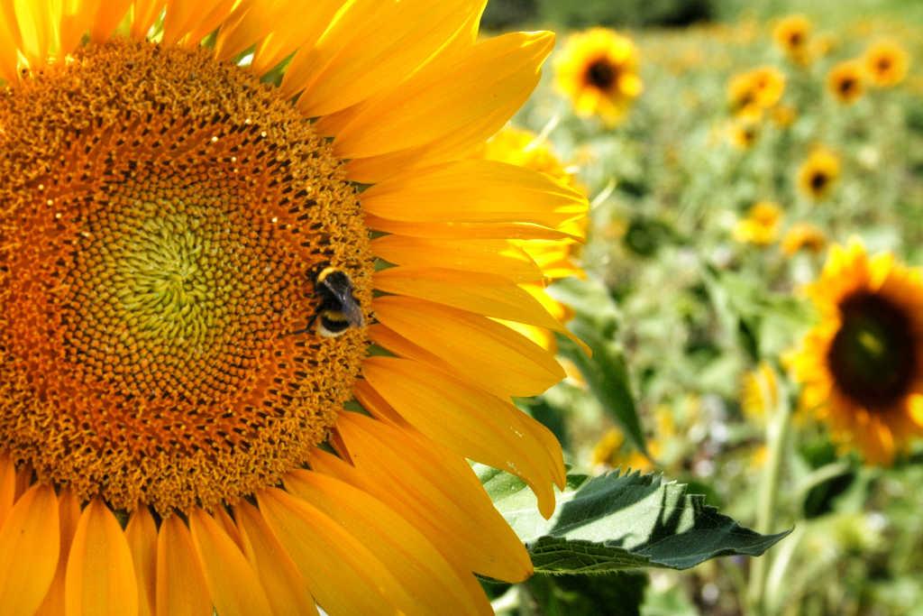 es kommt immer anders als man denkt Sonnenblumen tantedine